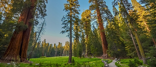 Large trees in Sequoia Kings National Parks