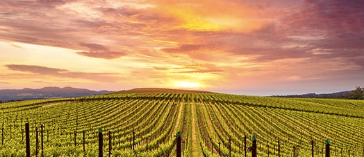 Napa Valley Wine fields at sunset
