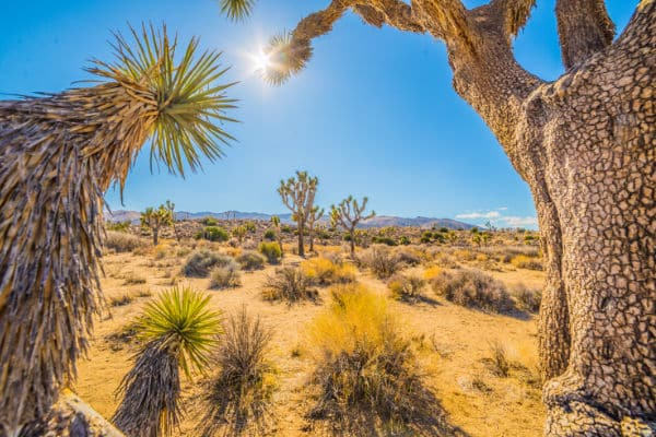 Joshua Trees in the sunlight