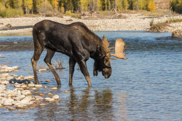 moose crossing the river in Grand Teton