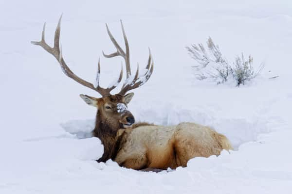 Elk in the snow at Yellowstone National Park