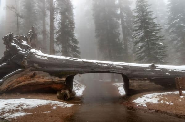 Redwood Log tunnel in Sequoia National Park