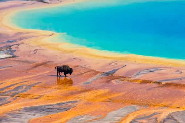 Buffalo near geyser basin in Yellowstone