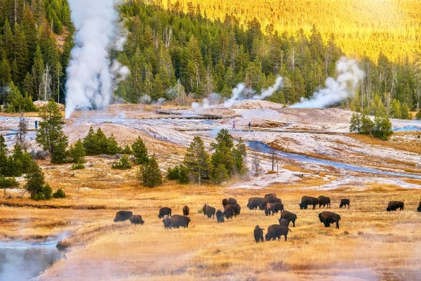 herd of buffalo in Yellowstone National park